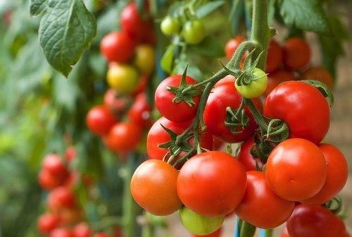 eDoctor - Tìm hiểu tác dụng của cà chua với sức khỏe